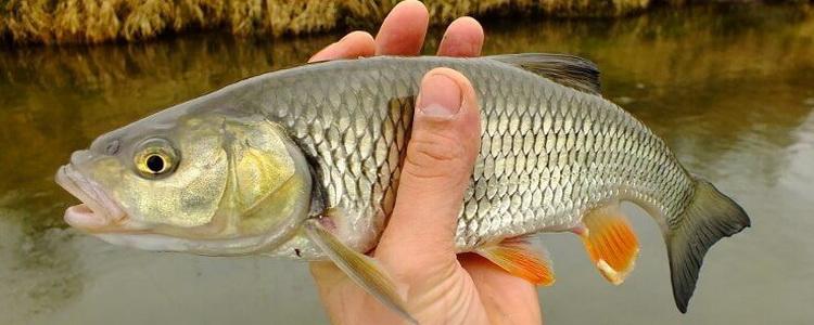 Ловля голавля в мае спиннингом на малых реках